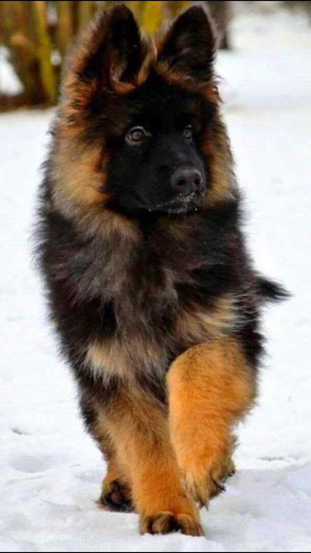 Long Hair German Shepherd Puppies