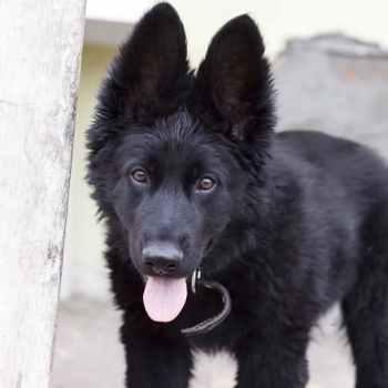 Long Haired Black German Shepherd