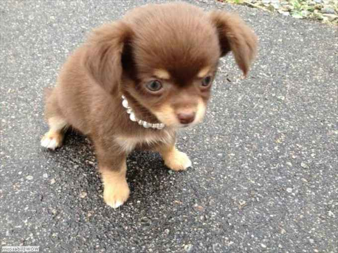 Long Haired Chihuahua Cost