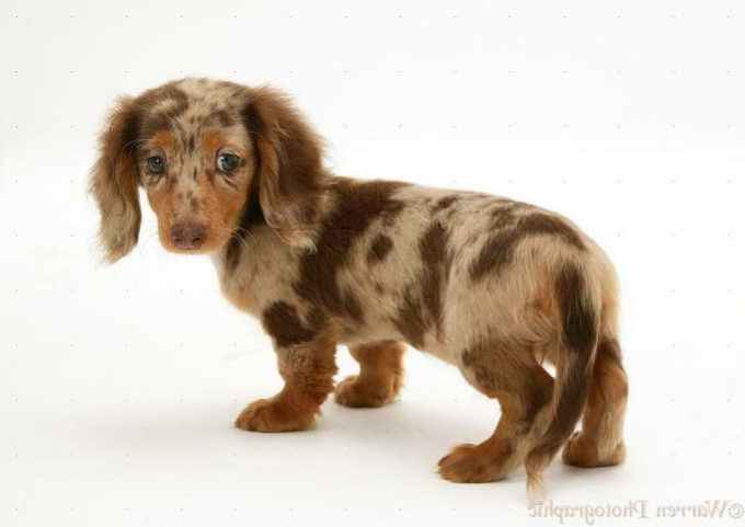 Long Haired Chocolate Dapple Dachshund