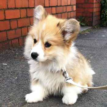Long Haired Corgi Puppies For Sale