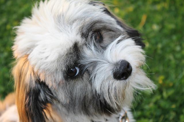 The Havanese hypoallergenic dogs