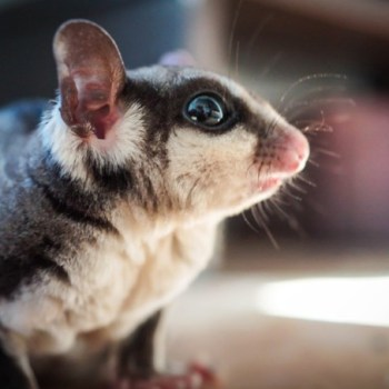 Everything You Should Know About Caring for a Sugar Glider
