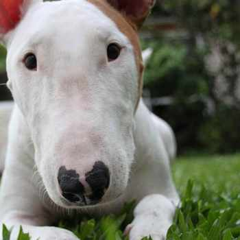 How Much Is A Bull Terrier