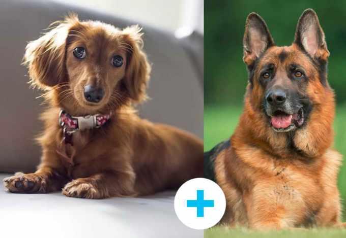 German Shepherd Weiner Dog Mix