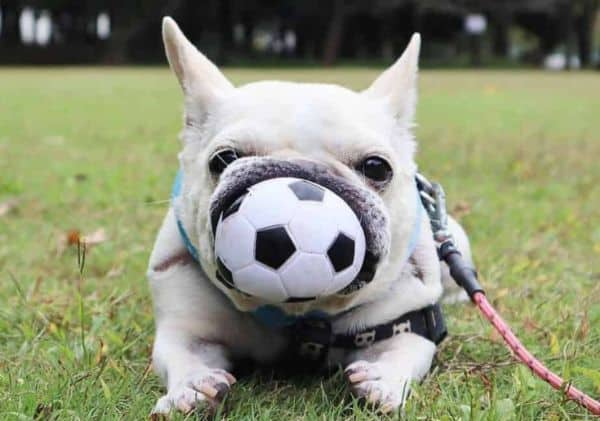 French Bulldog with ball