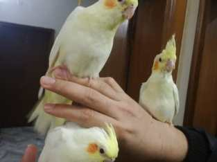 Common white cocktiel red eyes