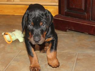 Akc doberman _male