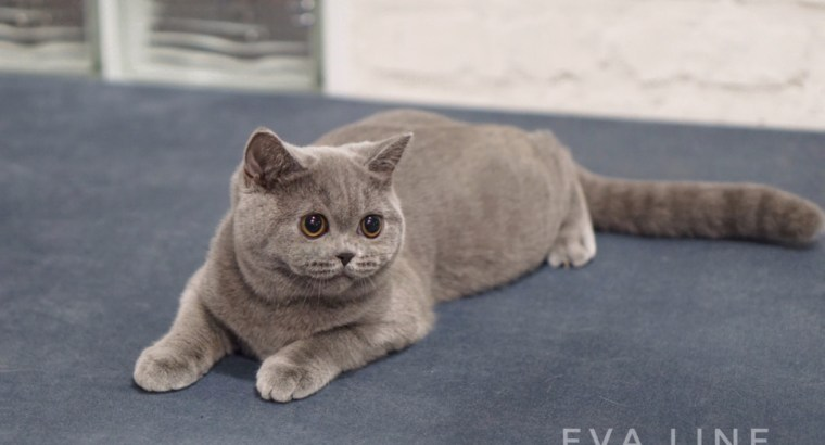 British Shorthair female