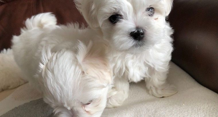 Maltese Puppies Now Ready