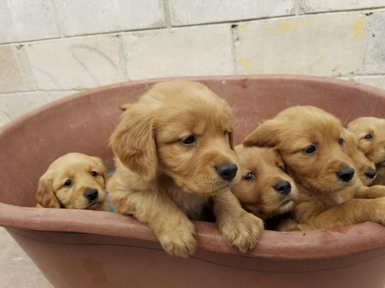 Classifieds Golden Retriever Puppy For Sale