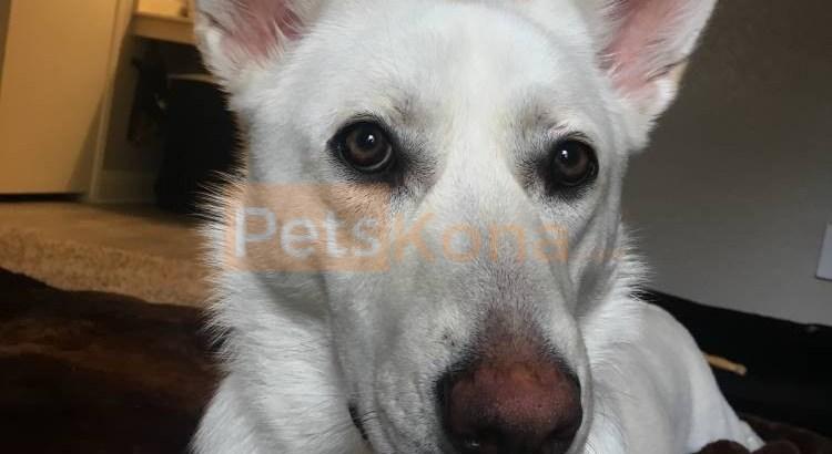 1 Year Old White German Shepherd