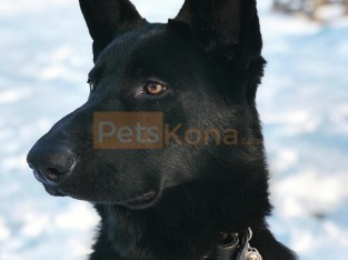 Solid Black Purebred German Shepherd