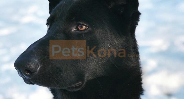 Solid Black Purebred German Shepherd