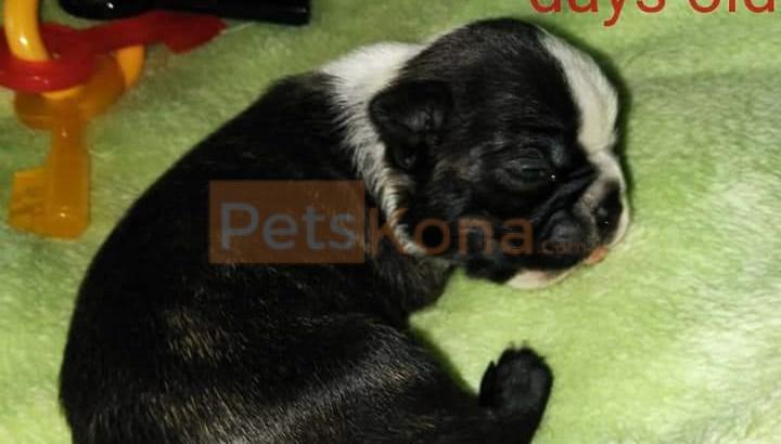 Purebred Boston Terrier puppies