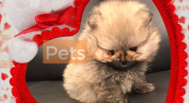 **Sweet Gorgeous Pomeranian Puppies For Sale