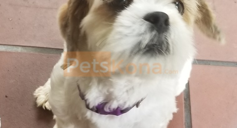 White-Sable Lhasa Apso for sale