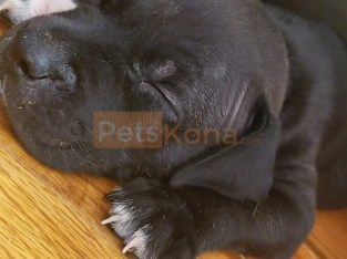 Puppies pitbull terrier
