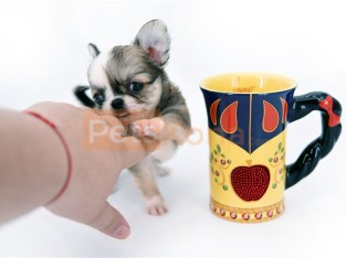 Extreme Dollface Chihuahua puppy for sale