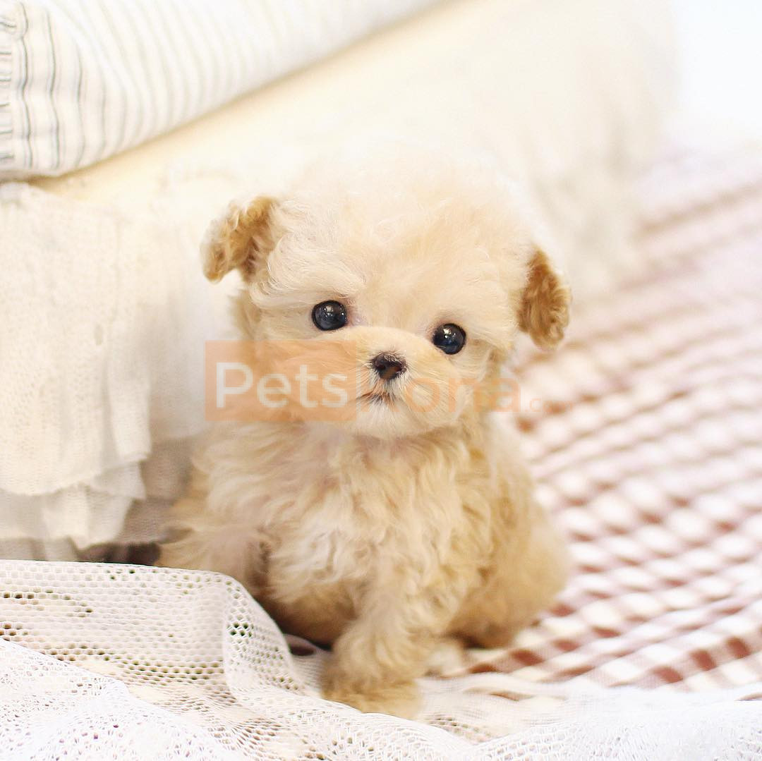 Teacup Size Poodle Puppies For Sale Text 713 510 3006