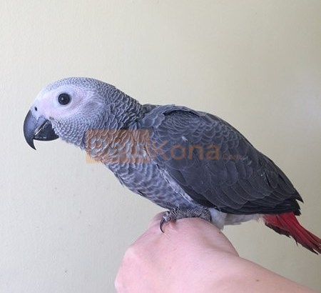 African greys Available for new home