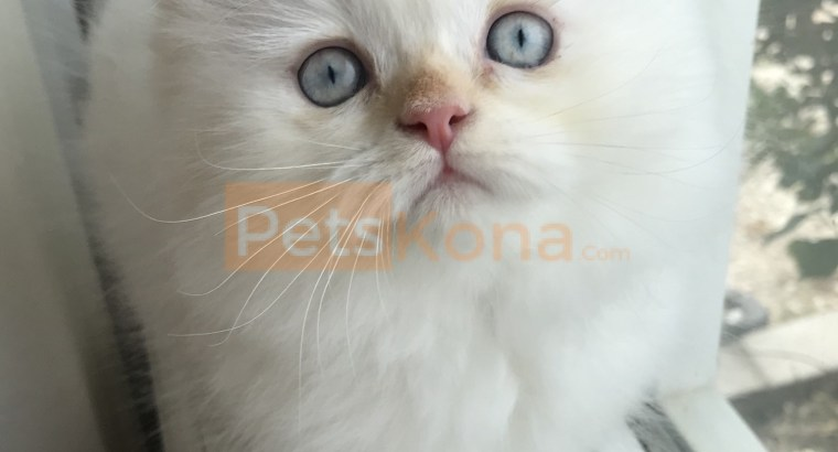 Purebred Himalayan Kittens