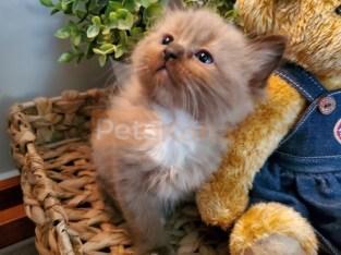 Kitten – Ragdoll