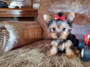 AKC/CKC Registered Tiny Teacup Yorkie Puppies