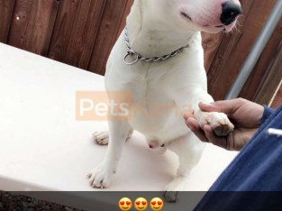 Male Bull Terrier 1 year old