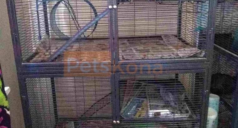 Chinchillas w/cage/all supplies