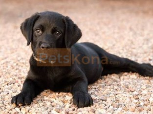 2 month Labrador Retriever Puppy