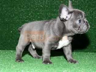 100% Genuine Pure Blue French Bulldog puppies Text Us At (503)389-3196 )