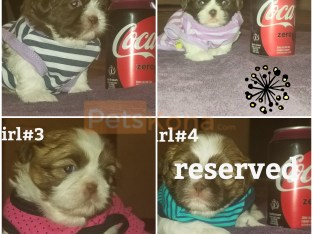 CKC Shih Tzu puppies.