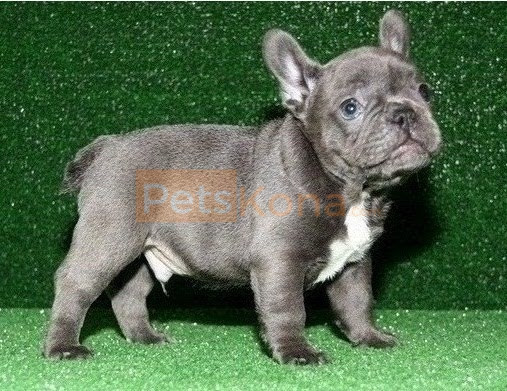 Amazing Pure Blue French Bulldog puppies Text Us At (503)389-3196 )
