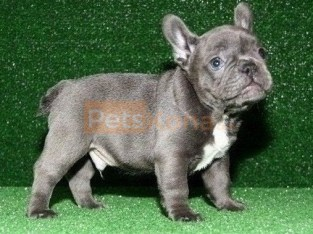 Joyful bringer Pure Blue French Bulldog puppies Text Us At (503)389-3196 )