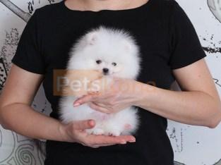teacup beautiful Pomeranian puppies