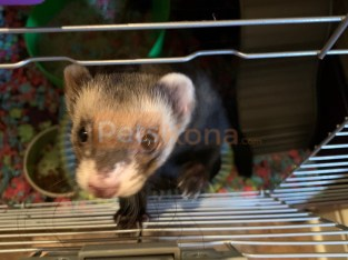 Ferret & 2 Cages for Sale!
