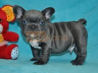 Pure Blue French Bulldog puppies Text Us At (503)389-3196 )