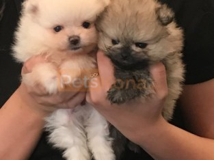 toy Beautiful Pomeranian now available.