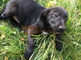 Shepherd/labrador puppy