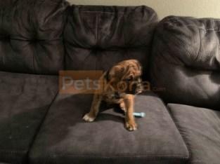 Olde English Bulldogge Puppy for Sale