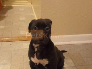 American Pitbull Female pure bred