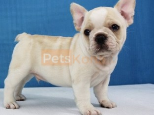 AEWFA French bulldog puppies