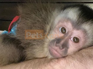 Adorable baby monkey for rehoming