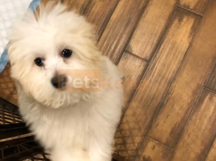 5 month old maltipoo. Adorable. Nice. Clean. All shots 5 year gauranteee