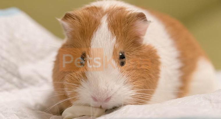 Two Healthy Guinea Pigs