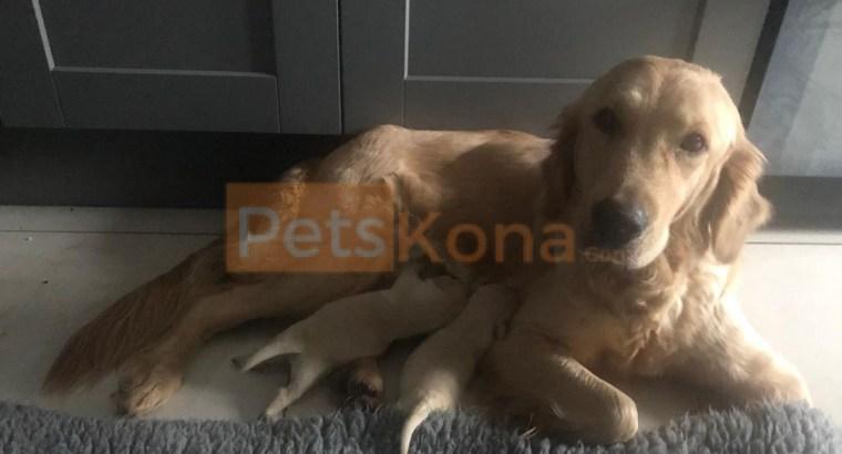 Stunning Kc Golden Retriever Puppies