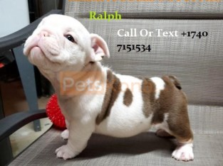 Pure Breed English Bulldog Puppies