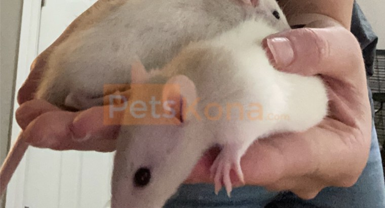 2 female baby rats with large cage