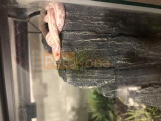 Female Tessera Snow corn snake
